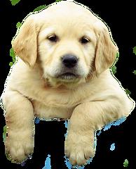 Labrador-puppy-climbing.png