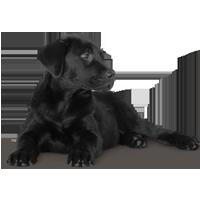 black-Labrador1.png