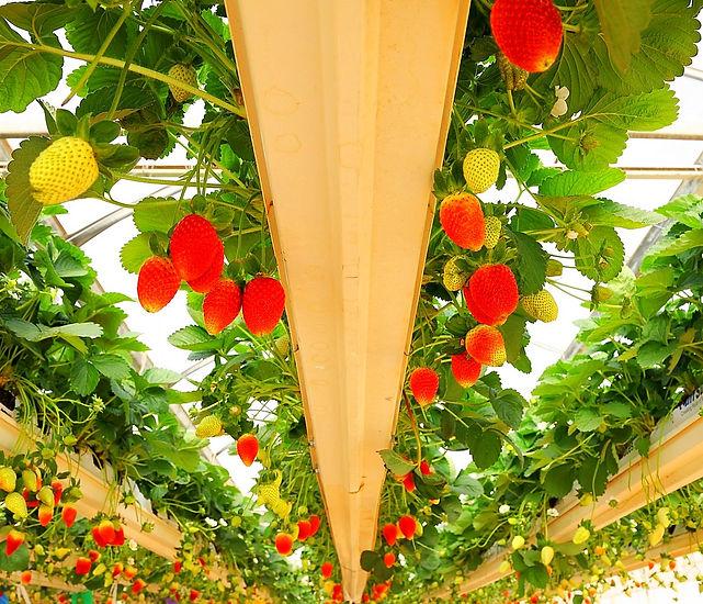 תמונה: סיור חקלאי - תות שדה בחממות  |  מאתר: ארץ עיר טיולים |  יום כיף | ODT | טיולים בצפון | הפקת אירועים