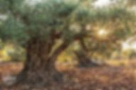 תמונה: עצי זית עתיקים בגליל |  מאתר: ארץ עיר טיולים |  יום כיף | ODT | טיולים בצפון | הפקת אירועים