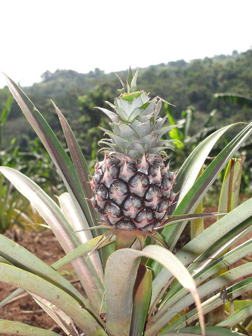 Pineapple at Padre's farm