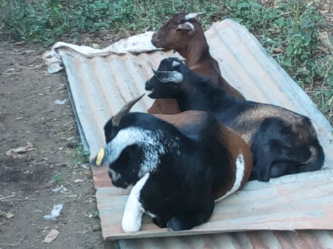 Goats resting at Padre's Farm