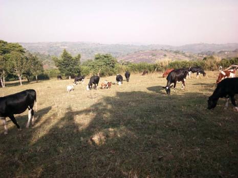 Cattle grazing on Padre's Farm