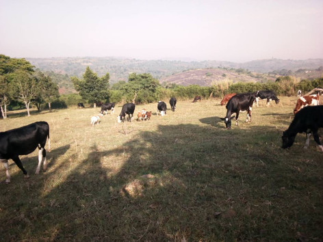 Cattle grazing on Padre's Farm