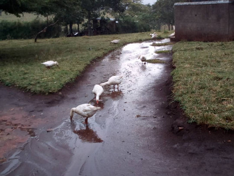 Geese drinking rainwater at Padre's Farm