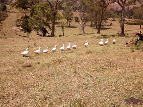 A gaggle making its way across Padre's Farm