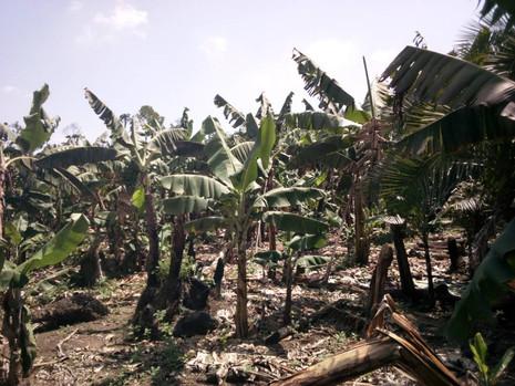 Some banana trees on Padre's Farm