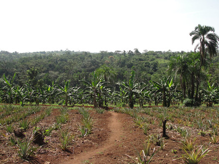 Pineapple feild with banana trees in distance at Padre's farm