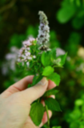 hand-holding-mint-flowers