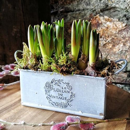 Petit Jardin - Mountain Lady Muscari Hyacinths