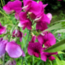 sweet-pea-flowers