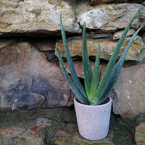 Aloe Vera In Decorative Pot