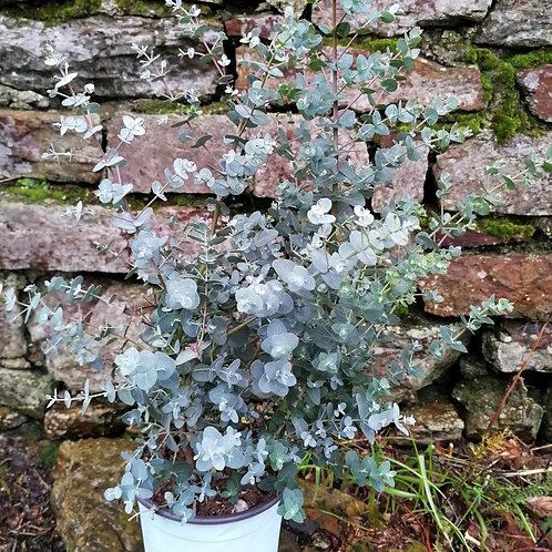 Eucalyptus Gunni