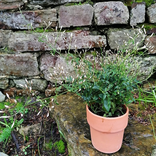 Bush Jasmine In A Terracotta Pot