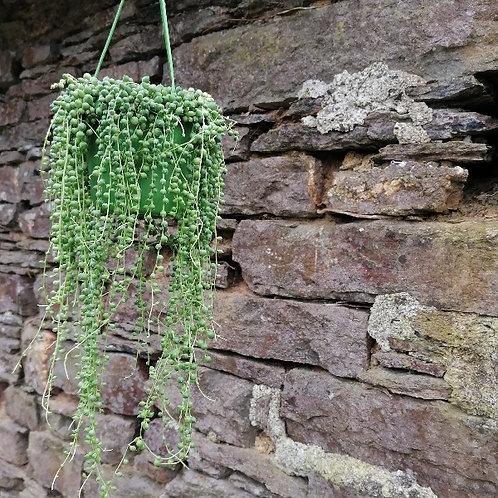 Rosary Bead Plant