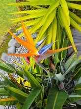Pipinui - Bird of Paradise 2.jpg