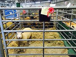 Mileburne Pheonix Charollais Ram Bakewell Ram fair
