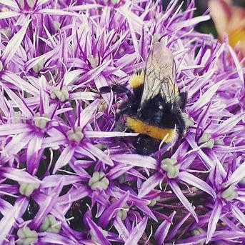 Beautiful bee gorging on an Allium earli