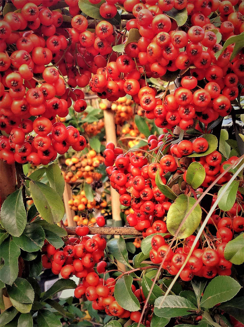 Red and orange pyracantha berries
