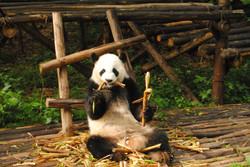Pandas - Chengdu China