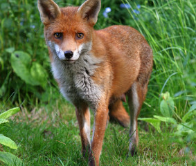 Fox and other Animal Damage to the Lawn