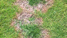 Watch out for Fusarium Patch (Microdochium Nivale) or Pink/Grey Snow Mould