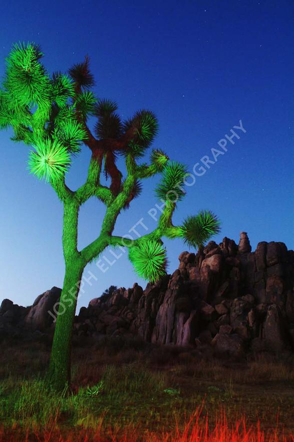 Night Joshua Tree