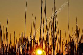 Sunset Reeds