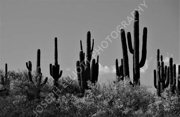 Black & White Cactus