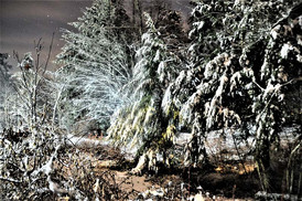 Snow Blanketed Pines