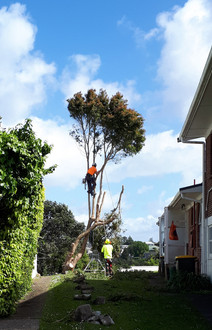 Trimming a small tree