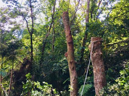 Elm tree removal
