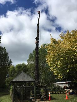 Pine tree removal