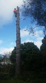 Cedar tree removal