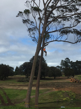 Gum tree pruning