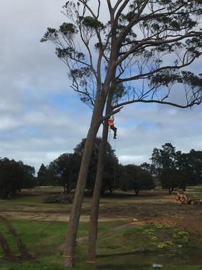 Gum tree pruning