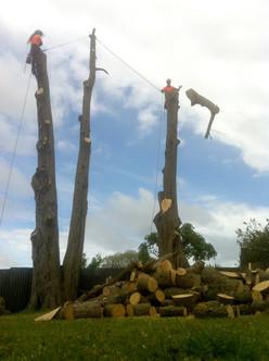 Arborist removing macrocarpas