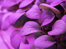 Purple Mustard ECUY oin shelf.JPG