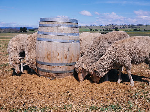 Sustainability: Sheep eating spent barley after whisky distilling