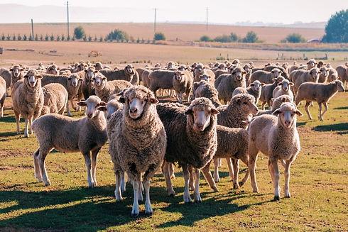 Sheep_On_Distillery_Farm