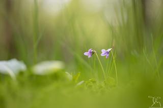 Violette des bois