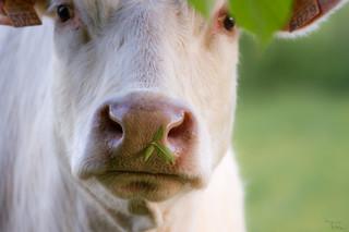 Bovine gourmande