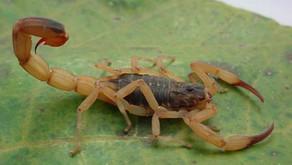 Picadas de escorpião