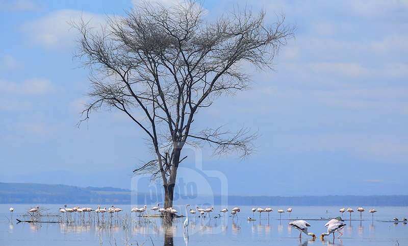 Lake Nakuru Birds -Pelicans and Flamingoes