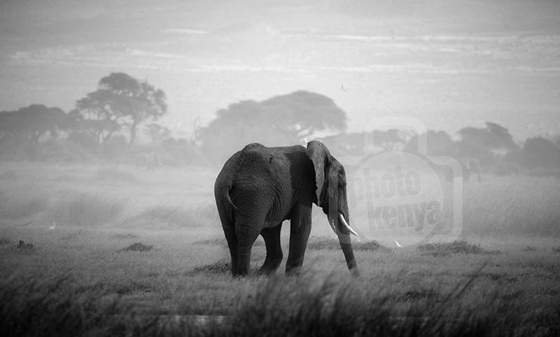 Lone Elephant in Dusty Samburu
