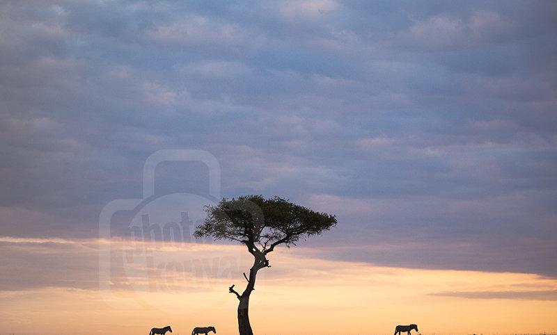 Zebras on a Maasai Mara Sunrise