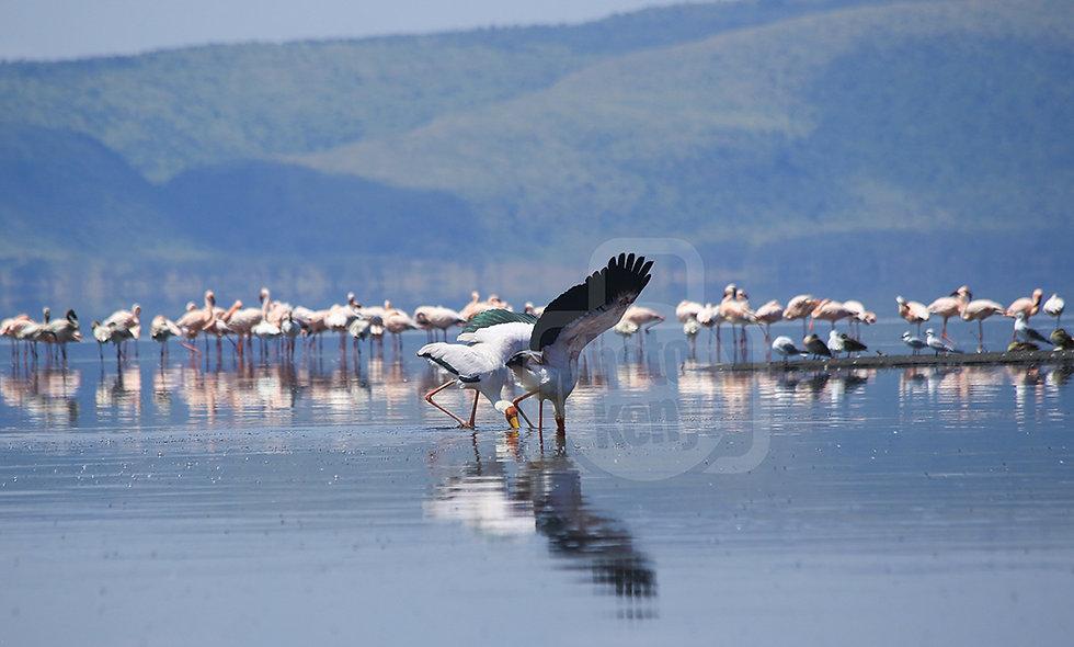 Lake Nakuru Flamingoes Feeding (1)