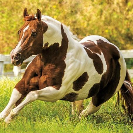 Exemplar brasileiro é favorito ao título de cavalo mais versátil do mundo