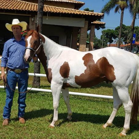 Agostinho Leal é um criador apaixonado por cavalos e pelo Paint