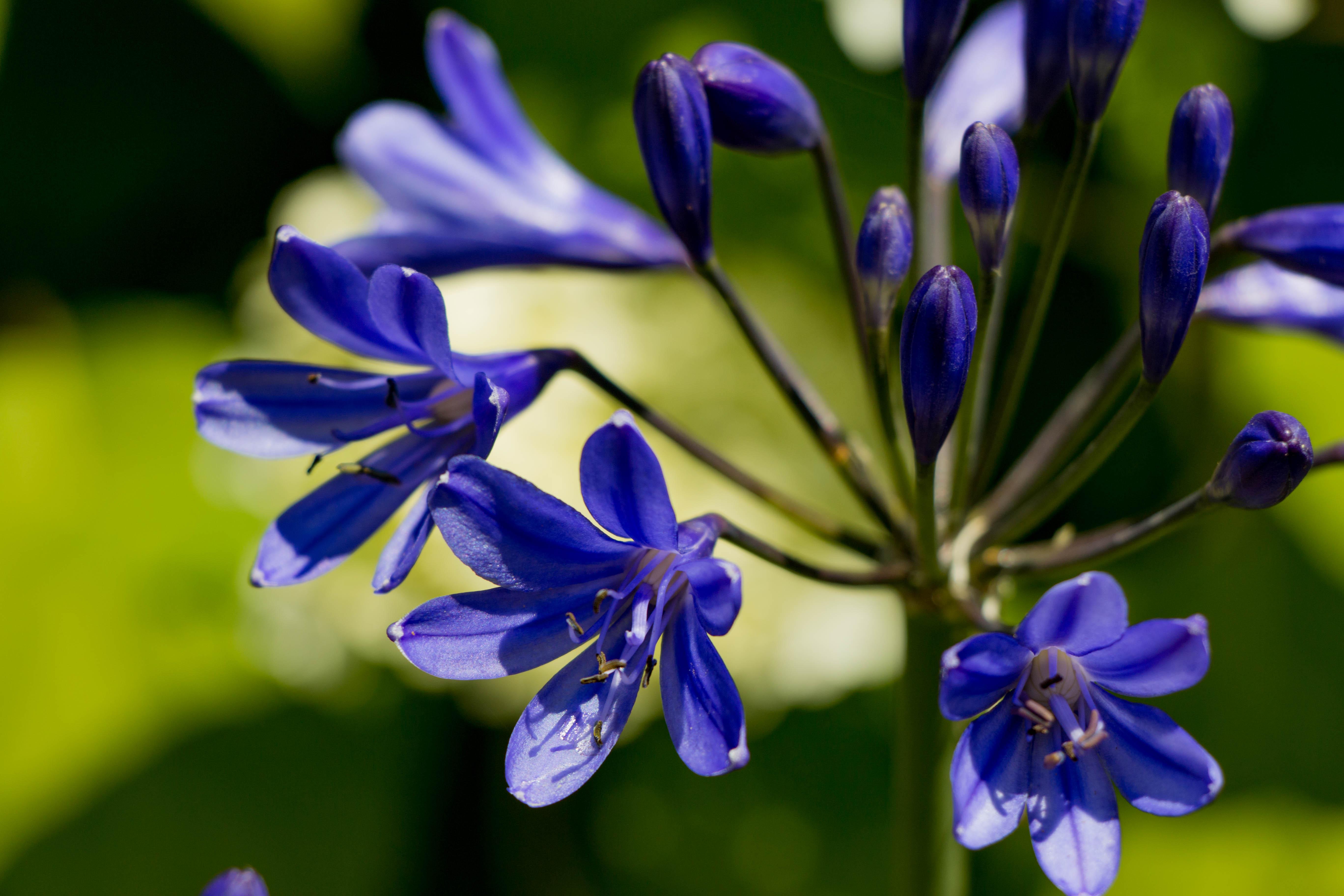Agapanthe-bleue-jardin-roots-paysages